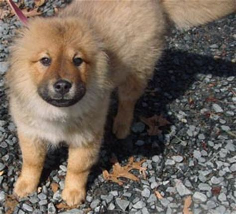 fuzzy chow chow puppy ready for adoption chow ready for adoption husky breeds picture