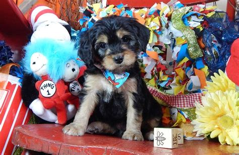 cavapoo puppies breeders best 25 cavapoo breeders ideas on cutest puppy teddy puppies and