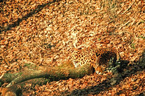 jaguar animal camouflage