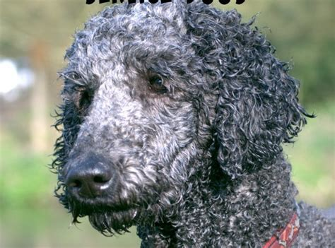best dogs to as service dogs what are the best hypoallergenic service dogs vills