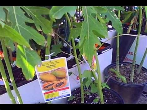 fruit trees at lowes tropical fruit trees for sale at lowes in subtropical