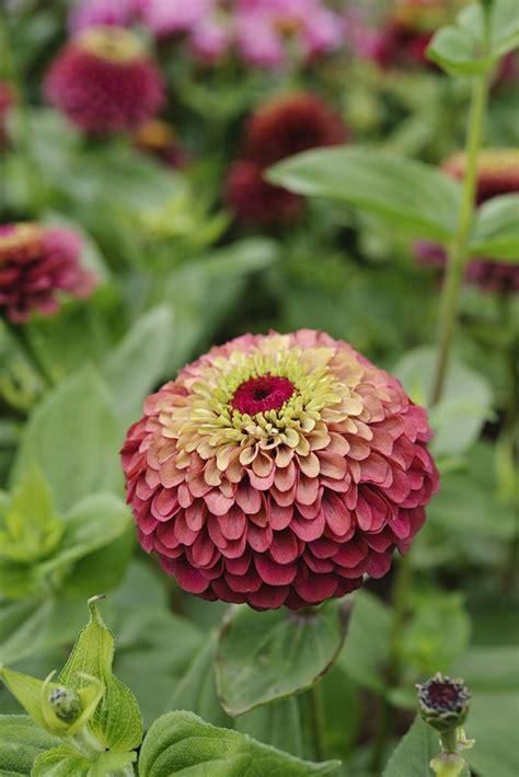 Zinnia Flower Garden Best 25 Zinnias Ideas On Zinnia Garden Zinnia Flower Ideas And Growing Zinnias