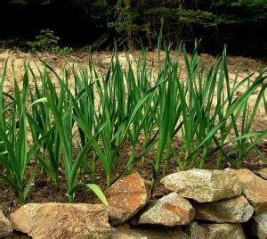 coltivazione aglio in vaso seminare l aglio nell orto come dove e quando inorto