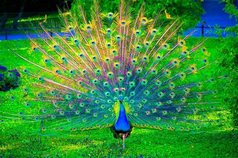 wallpaper merak biru aneka gambar burung merak yang menakjubkan pernik dunia