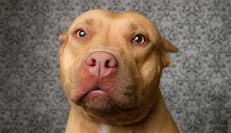 pitbull puppies ny pin pit bull attack image on