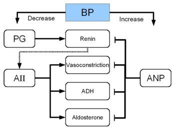 renin–angiotensin system wikipedia