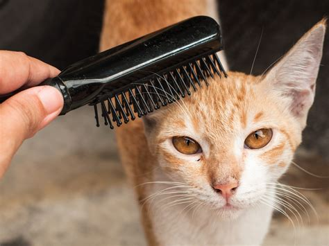 How To Loosen Matted Cat Hair by Using Olive To Get Rid Of Matted Fur On A Cat Cat