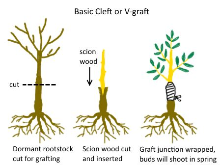 grafting diagram the difference between seedling grafted and cutting grown