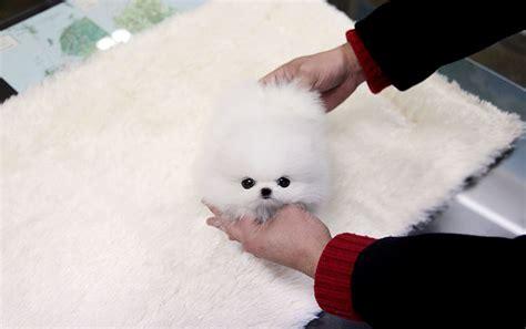 white teacup pomeranian price teacup puppy teacup puppy for sale white teacup pomeranian addel