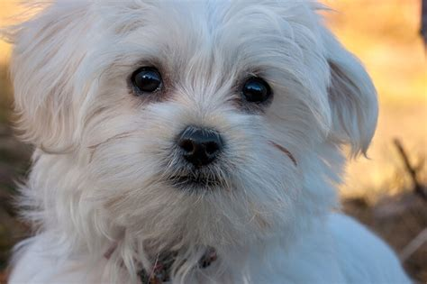 maltese information facts about maltese dogs