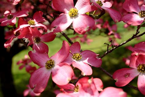 file pink dogwood blooms west virginia forestwander