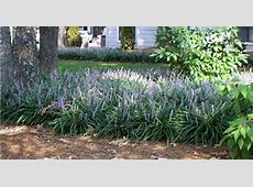 Fantastic Plants: Liriope muscari Clumping Monkey Grass ... Liriope Muscari Evergreen Giant