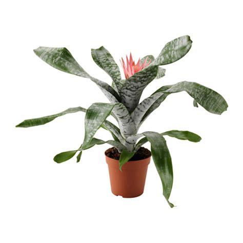 vasi piante ikea aechmea pianta da vaso ikea