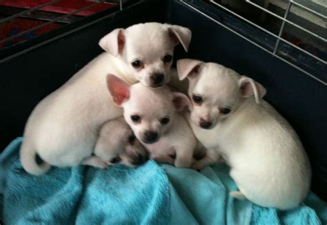 free chihuahua puppies in pa chihuahua puppies for adoption dogs for sale puppies for sale breeds picture