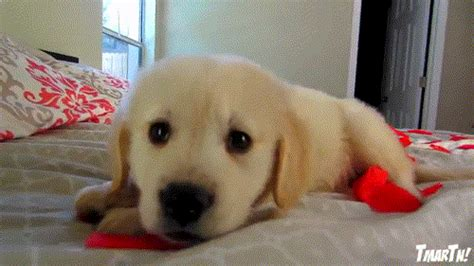 golden retriever puppy gif cooper s s day golden retriever puppy gif on gifburger