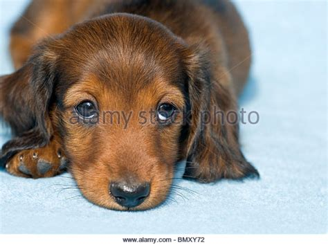 yorkie puppies for sale in vancouver bc miniature dachshund puppies for sale vancouver bc dogs our friends photo
