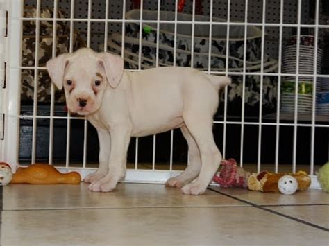 puppies for sale gulfport ms boxer puppies dogs for sale in gulfport mississippi ms 19breeders biloxi