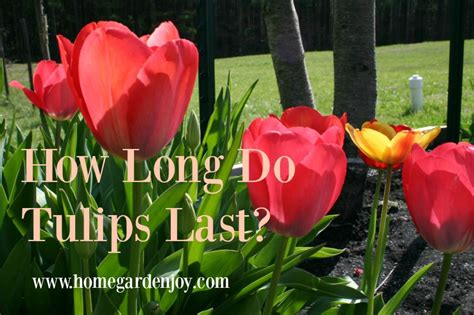 how long do flowers last long do flowers last how long do tulips last home garden joy