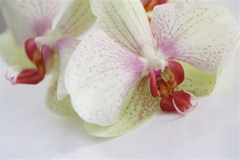 orchids information from flowers org uk