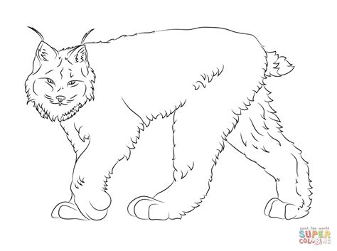 coloring pages canadian animals lynx 37 animals printable coloring pages