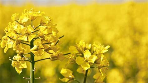 fiori di senape senape aromatiche la pianta della senape