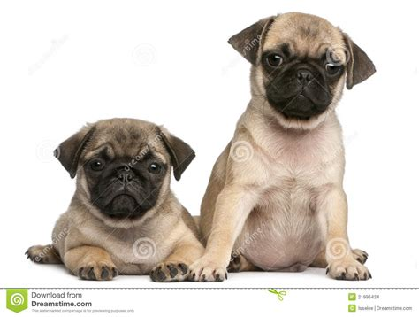 two pugs two pug puppies 8 weeks in front of white stock images image 21996424