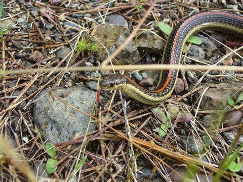 common garden snake  jcolley  deviantart