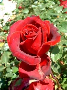 descargar rosas descargar imagenes de rosas rojas imagui
