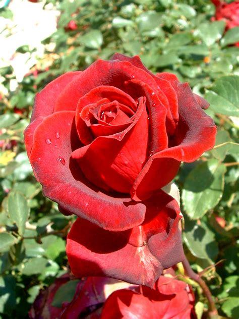 imagenes en rojas descargar imagenes de rosas rojas imagui