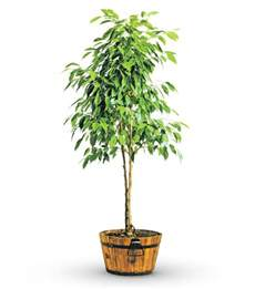 green potted ficus tree avas flowers