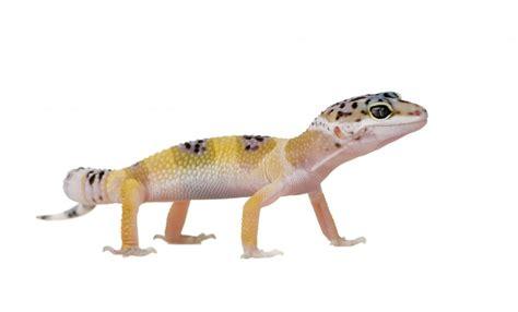 Baby Leopard Gecko Shedding by 100 Do Baby Leopard Geckos Shed Leopard Gecko Best