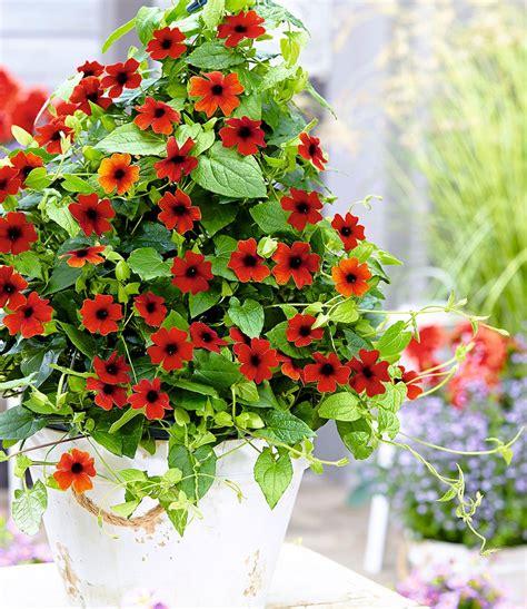 pflanzen shop rote thunbergia 180 brownii 180 2 pflanzen kaufen bei den
