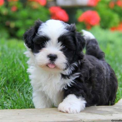 malshi puppies mal shi puppies for sale mal shi breed profile greenfield puppies