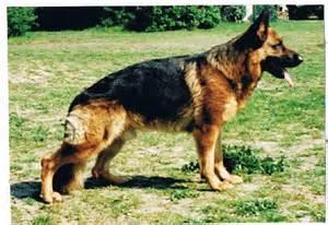 le berger accueil elevage du normont eleveur de chiens et chiots