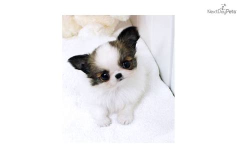 puppies for sale midland mi chihuahua puppy for sale near saginaw midland baycity michigan 2f748a3b 63e1