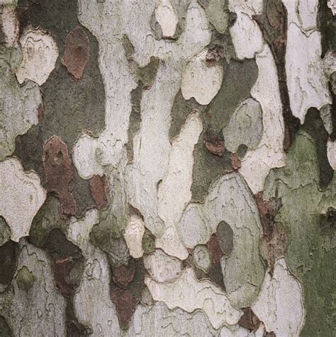 Why Do Trees Shed Bark by S New Explains Sycamores Plane Trees Shedding Bark