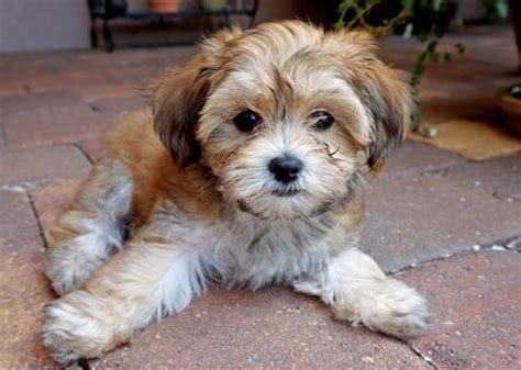havanese mix huckleberry finn the havanese mix puppies daily puppy