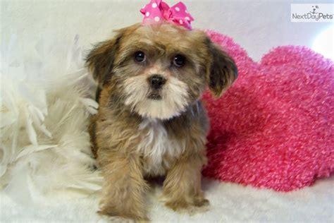 shiffon puppies for sale meet gabby a brussels griffon puppy for sale for 449 gabriella beautiful shiffon