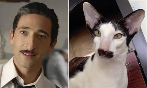 Adrien Brody Meme - actor adrien brody an oriental shorthair cat meme guy