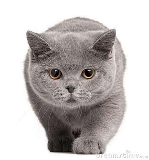 Kucing Shorthair kucing shorthair dreamer