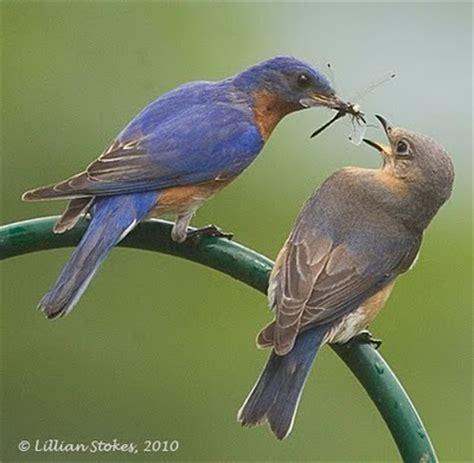 stokes birding blog: eastern bluebird breeding, all is well