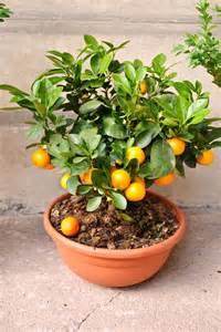 tanaman hias cara budidaya tanaman hias buah jeruk nagami dalam pot