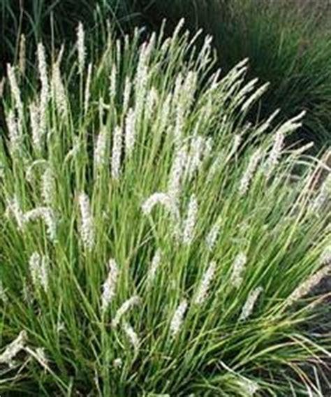 pflanzen für trockene sonnige standorte eremurus himalaicus himalaya steppenkerze mit stauden