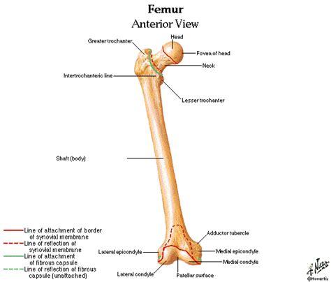 femur bone diagram labeled diagram of the femur labeled free engine image