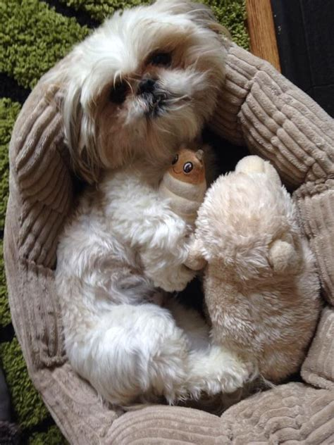 best toys for shih tzu i shih tzus if i didn t any better i d say this was bruno shih tzu