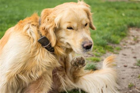 kidney disease in golden retrievers 10 things you need to about lyme disease in dogs cbs news