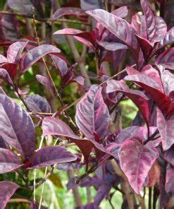 jual tanaman daun ungu daun wungu bibitbungacom