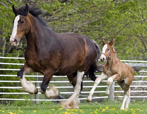 what is the largest breed breed guide the shire breed profile equitrekking