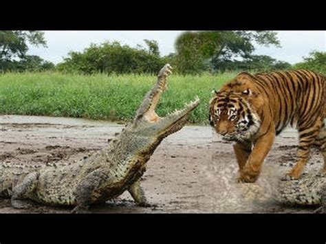 tiger  crocodile real fight youtube