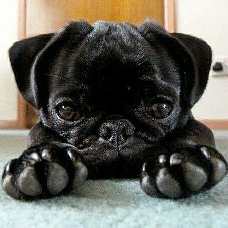 buy black pug best 25 pug puppies ideas on pugs pugs and pug puppies